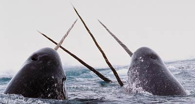 our blue planet--way to end 步入灭亡 Narwhals_040623